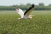 Great Pelican Flying Over Marsh