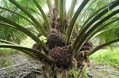 picture of biodiesel  - Bunches of palm oil fruits on tree - JPG