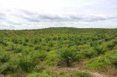 Palm Oil tree in palm oil estate