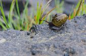 Snail On Rock