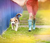 stock photo of wet feet  - Unrecognizable young woman in dress and blue wellies walk her beagle dog in green nature - JPG