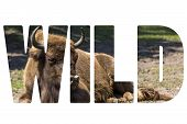Word Wild Bison - Animals That Live In Nature Reserves In Europe