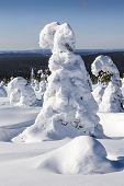 stock photo of laplander  - Snow covered trees in Lapland - JPG