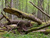 Old Ash Tree Broken Lying In Springrtime Forest