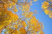 Aspen trees with yellow leaves in Autumn