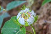Flower From Thailand, Passiflora Foetida, Fetid Passionflower, Scarlet Fruit Passionflower, Stinking