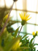 Yellow Flower Blooming In Glasshouse