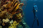 image of bottomless  - Underwater shot of the lady free diver ascending along the vivid coral reefs - JPG