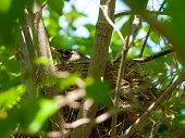 pic of dogwood  - Robin Red Breast in a Nest in a Green Leafy Dogwood Tree - JPG