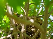image of dogwood  - Robin Red Breast in a Nest in a Green Leafy Dogwood Tree - JPG