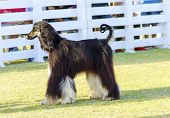 picture of hound dog  - A profile view of a healthy beautiful grizzle black and tan Afghan Hound standing on the grass looking happy and cheerful. Persian Greyhound dogs are slim and slender with a long narrow head long silky coat and curly tail.