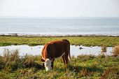 stock photo of sea cow  - Grazing cow by the coast of Baltic sea at the island Oland in Sweden - JPG