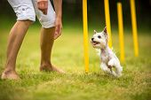 foto of working animal  - Cute little dog doing agility drill  - JPG