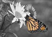 pic of color spot black white  - Male Monarch butterfly in summer garden - JPG