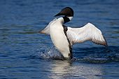 common loon spreads his wings