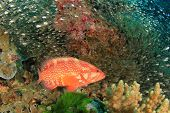 pic of grouper  - Coral Grouper  - JPG