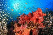 stock photo of swarm  - Coral Reef with swarms of Glassfish  - JPG