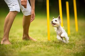 stock photo of working-dogs  - Cute little dog doing agility drill  - JPG