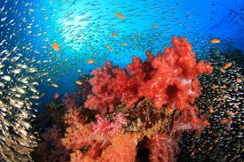 picture of sweeper  - Coral Reef with swarms of Glassfish  - JPG
