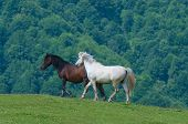 picture of wild horse running  - black and white horses - JPG