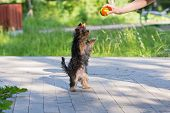 pic of yorkshire terrier  - Puppy Yorkshire Terrier plays and asked for the ball standing on its hind legs - JPG