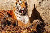 image of tigers-eye  - The tiger mum in the zoo with her tiger cub  - JPG