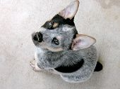 picture of blue heeler  - 5 week old Blue Heeler puppy looking up with dirt on his nose - JPG
