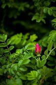 stock photo of rose bud  - Vibrant red rose bud in rose bush - JPG