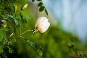 picture of rose bud  - White rose bud in rose bush nature - JPG