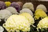 foto of chrysanthemum  - Yellow and other large chrysanthemum flowers in late autumn  - JPG