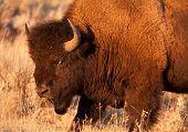 Toro de bisonte