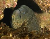 Close Up Of California Giant Moray Eel Catalina Island, California