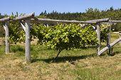 Weinrebe auf Holz Trellis