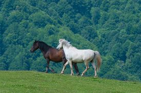 picture of stallion  - black and white horses - JPG