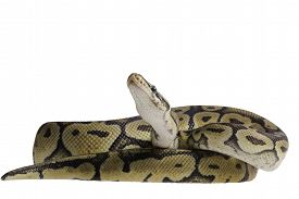 stock photo of pythons  - pastel citrus calico ball python Python regius isolated on white background - JPG
