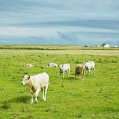 cows, The Mullet Peninsula, County Mayo, Ireland