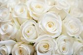 stock photo of white roses  - White Rose Background - JPG