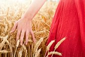 Hand in wheat field