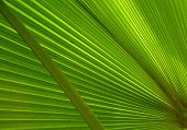 stock photo of tree leaves  - Pattern of the palm tree leaf - JPG