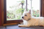 Westie Dog: West Highland White Terrier On Window Seat Guarding Garden Back Yard Outside. poster