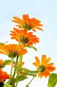 image of orange blossom  - orange flower under blue sky - JPG