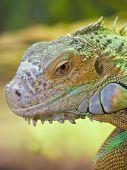 Iguanas Head