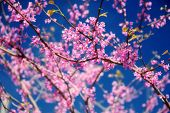 Redbud tree in bloom with pink flowers