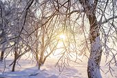 Winter Background. Frosty Trees Branches In Golden Sunlight At Sunset. Hoarfrost On Tree And Plants. poster