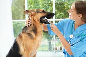 Doctor Cleaning Dogs Teeth With Toothbrush Indoors. Pet Care poster