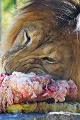 close up of lion eating meat