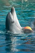 bottle-nose dolphin playing with ball