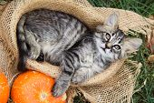 Small Cat Lies In Basket. Cat And Pumpkins. Cat And Autumn poster