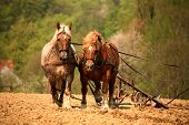 image of horse plowing  - Nostalgic cultivation with two magnificent horses in Germany - JPG
