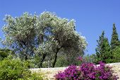 Olive Tree And Bougainvillea